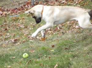 A playful puppy Rolls her ball, she leaps and plays, Enjoying gravity.