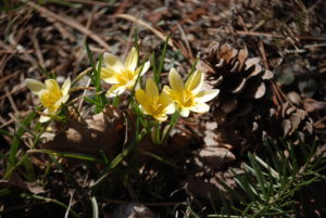 Cheerful springtime blooms brighten up a sunny day, snow crocus minus the snow.